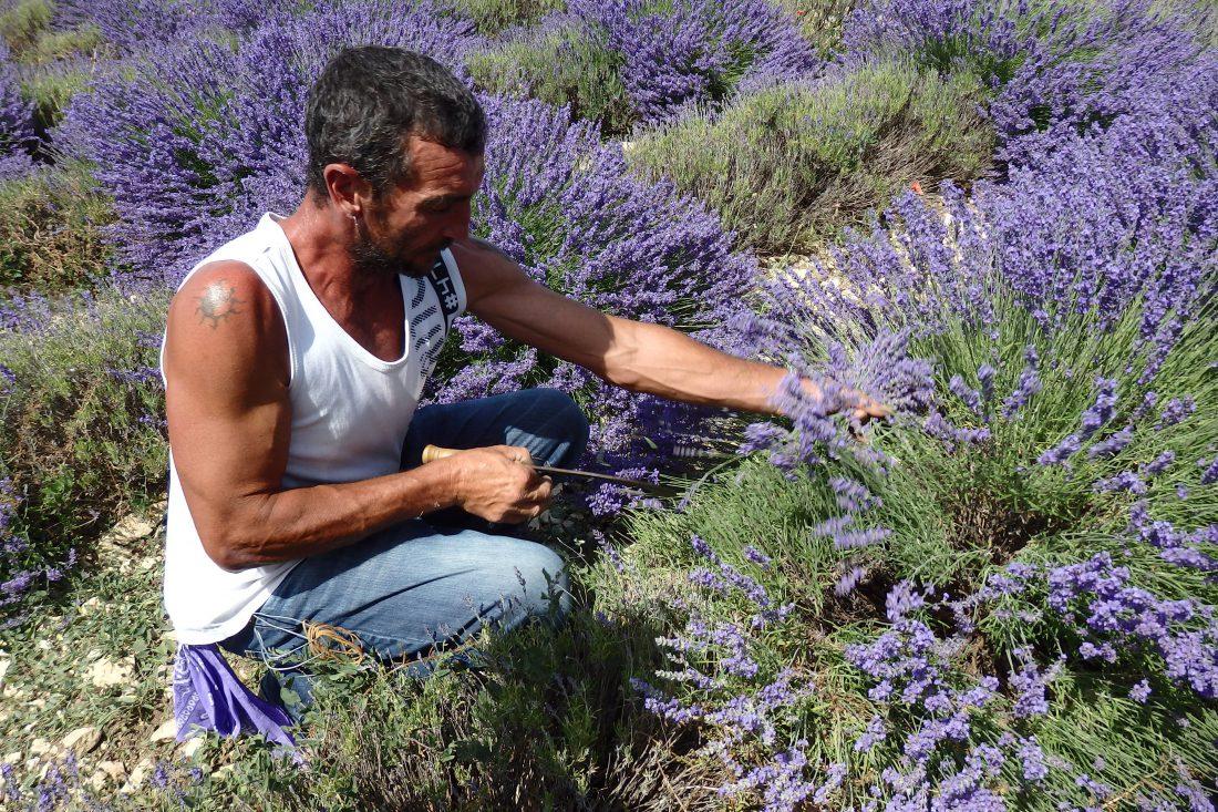 Provence_Lavendel-Ernte